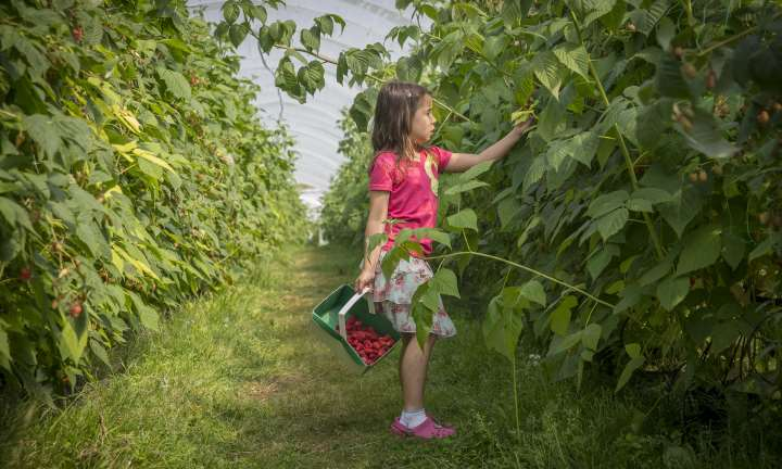 Soft fruit picking at Craigie's farm, South Queensferry