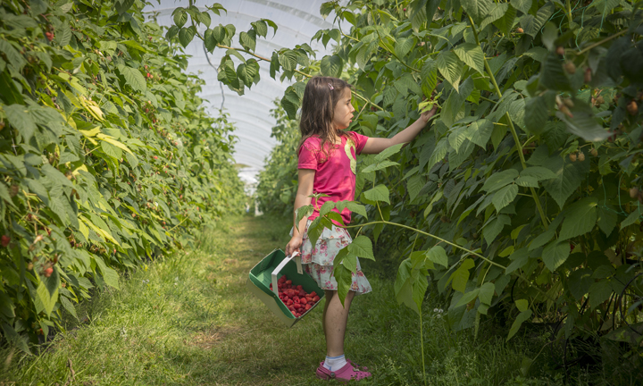 A girl picks strawberries in a polytunnel.