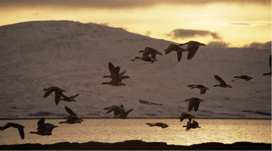 Geese flying over Loch na Keal Isle of Mull Inner Hebrides