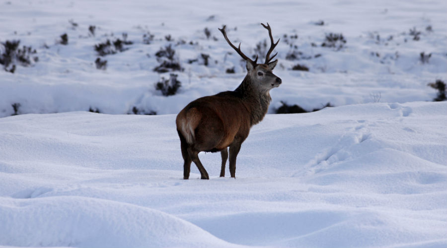 Red deer stag in Glen Torridon Highlands