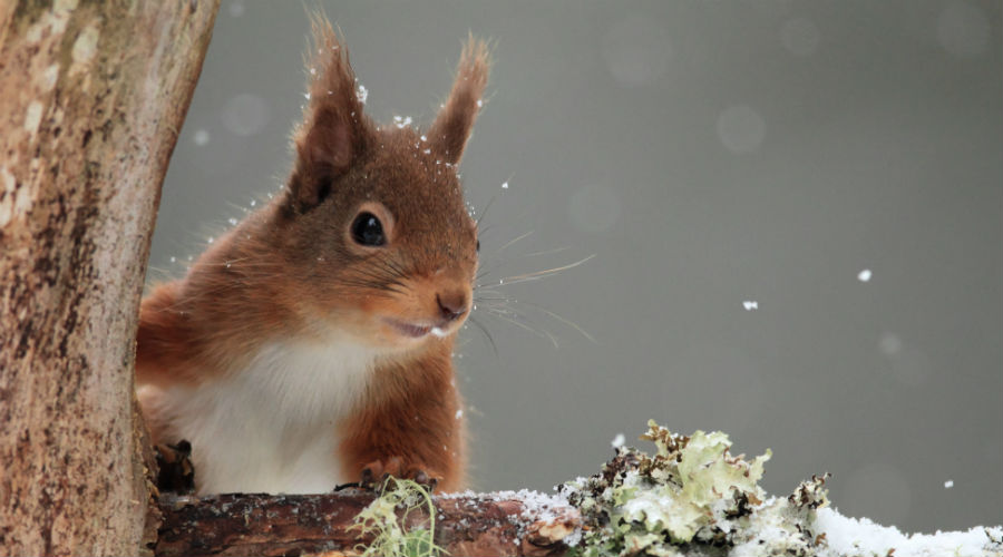 Red squirrel in winter snow © Lensman300 / Dollar Photo Club