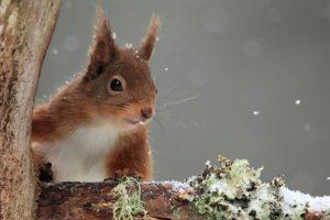 Red squirrel in winter snow © Lensman300 / Dollar Photo Club