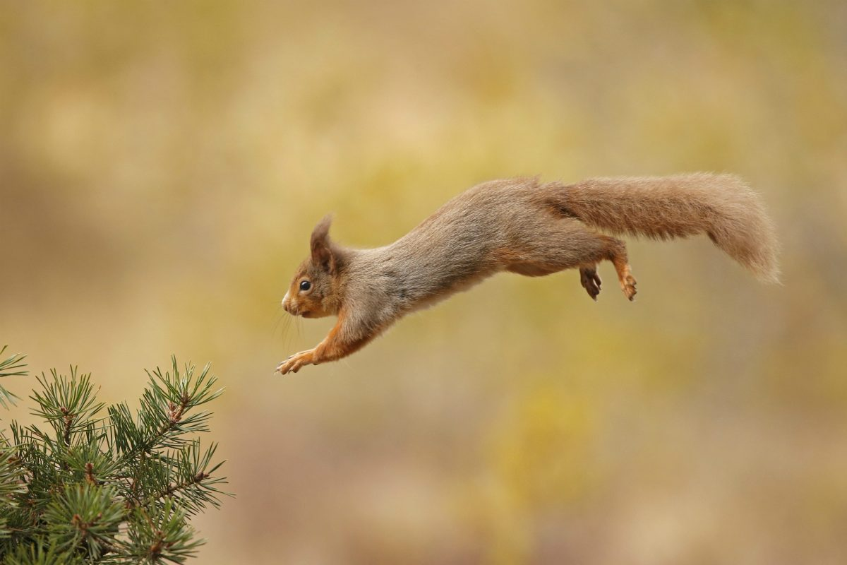 A red squirrel captured mid jump Red squirrel © Neil McIntyre