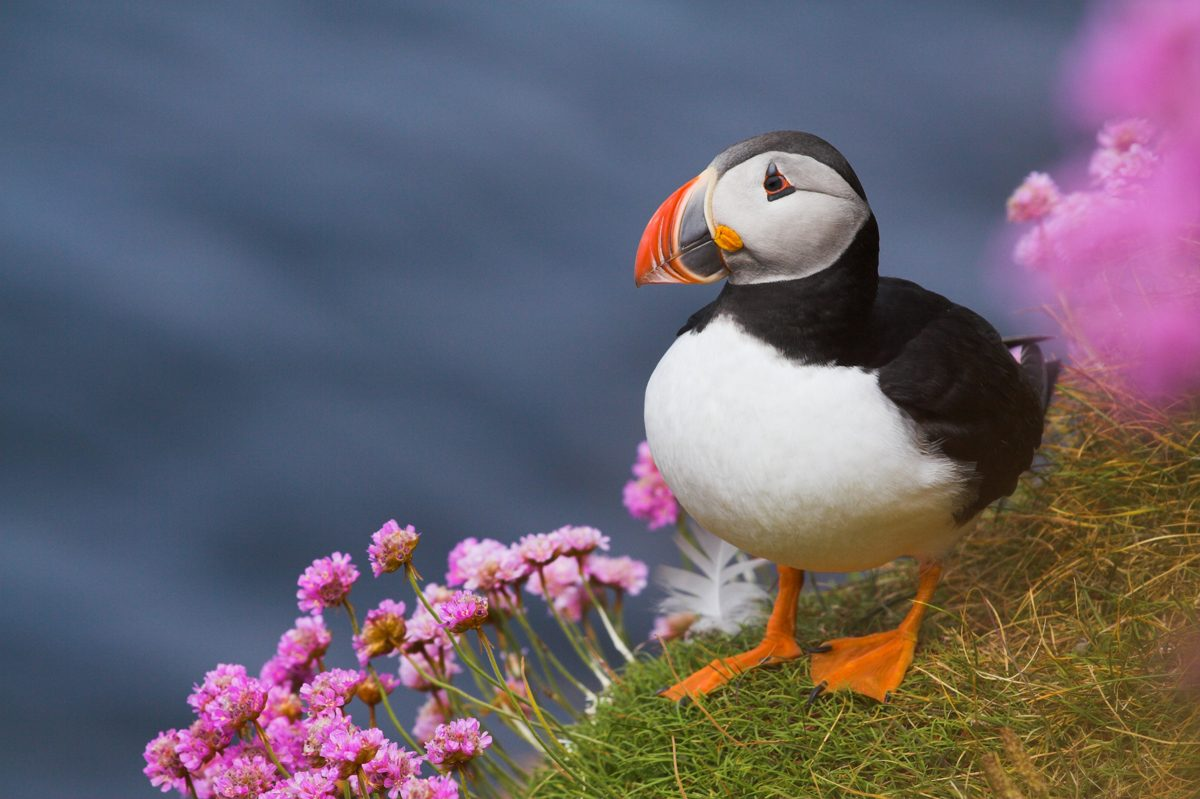 Puffins perched on Orkney's west coast