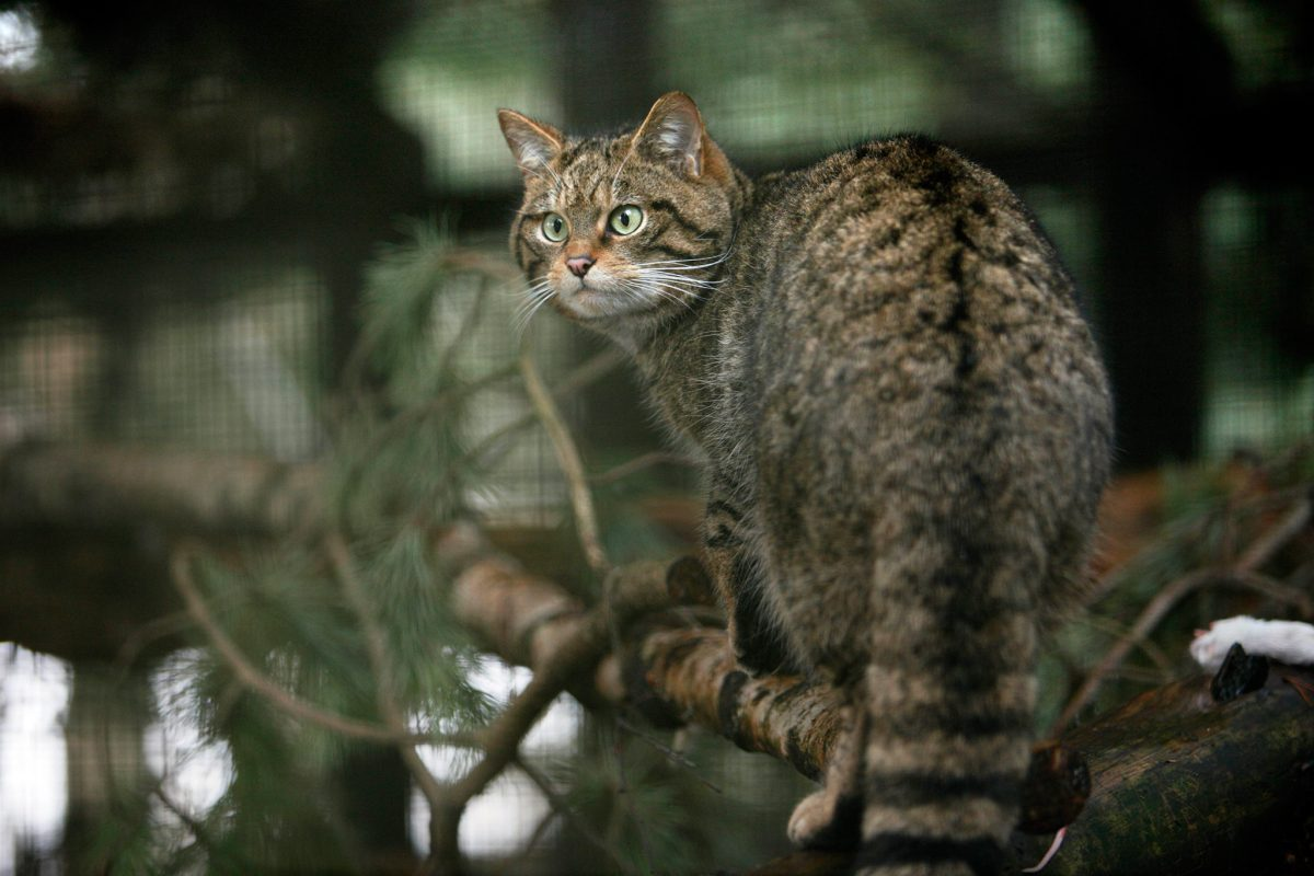 A wildcat at the Highland Wildlife Park, Kincraig, by Kingussie, Highlands