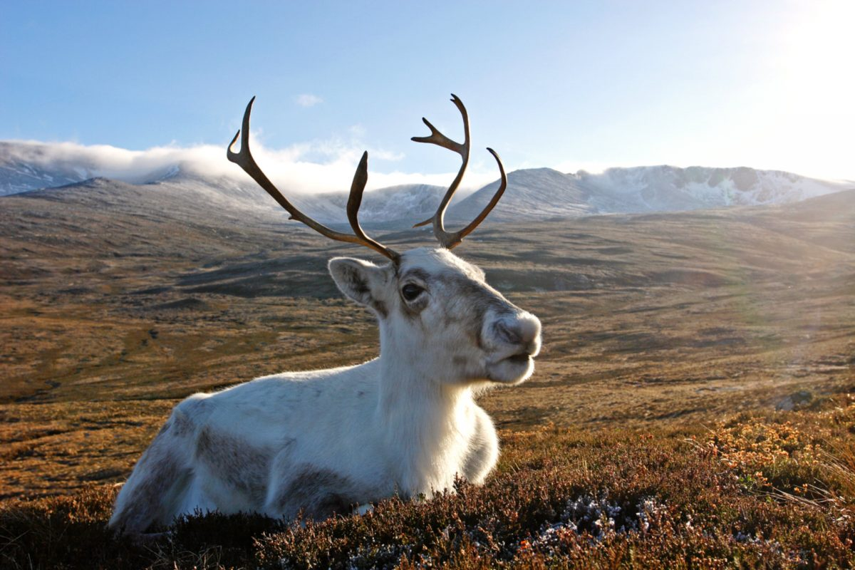 A reindeer resting in the Cairngorms National Park