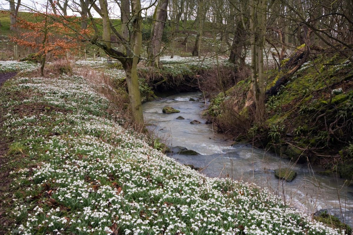 Snowdrops beside a stream in the woodlands at Cambo Gardens near Kingsbarns