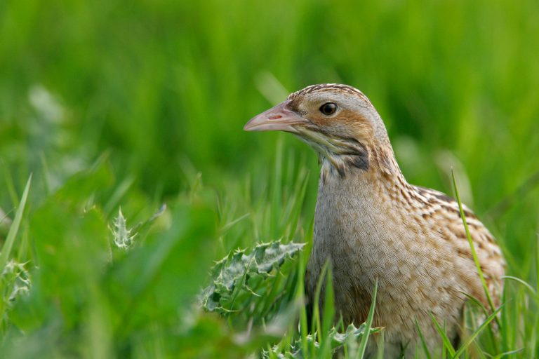 A close-up of corncrake.