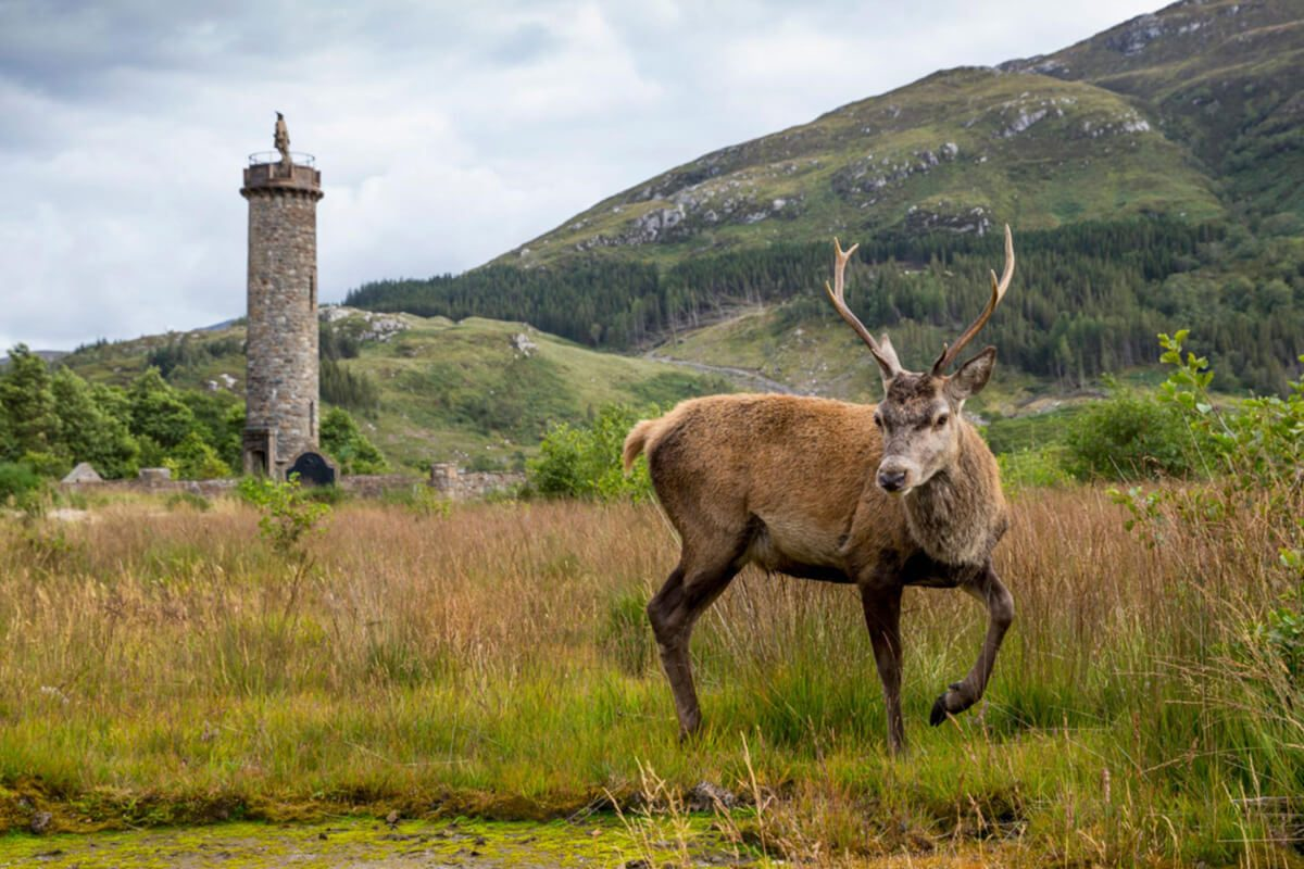 Rotwild am Glenfinnan Monument