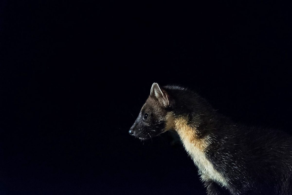 Pine marten at night, Cairngorms National Park
