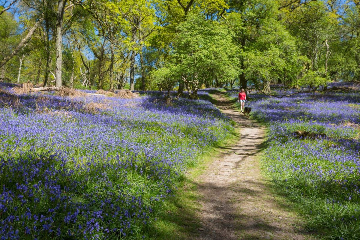 A women and her dog walk on a path through a field of bluebells.