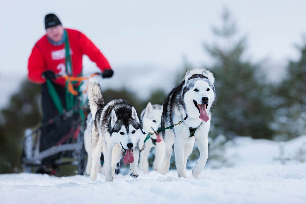 Sled dog racing in Glenmore Forest near Aviemore