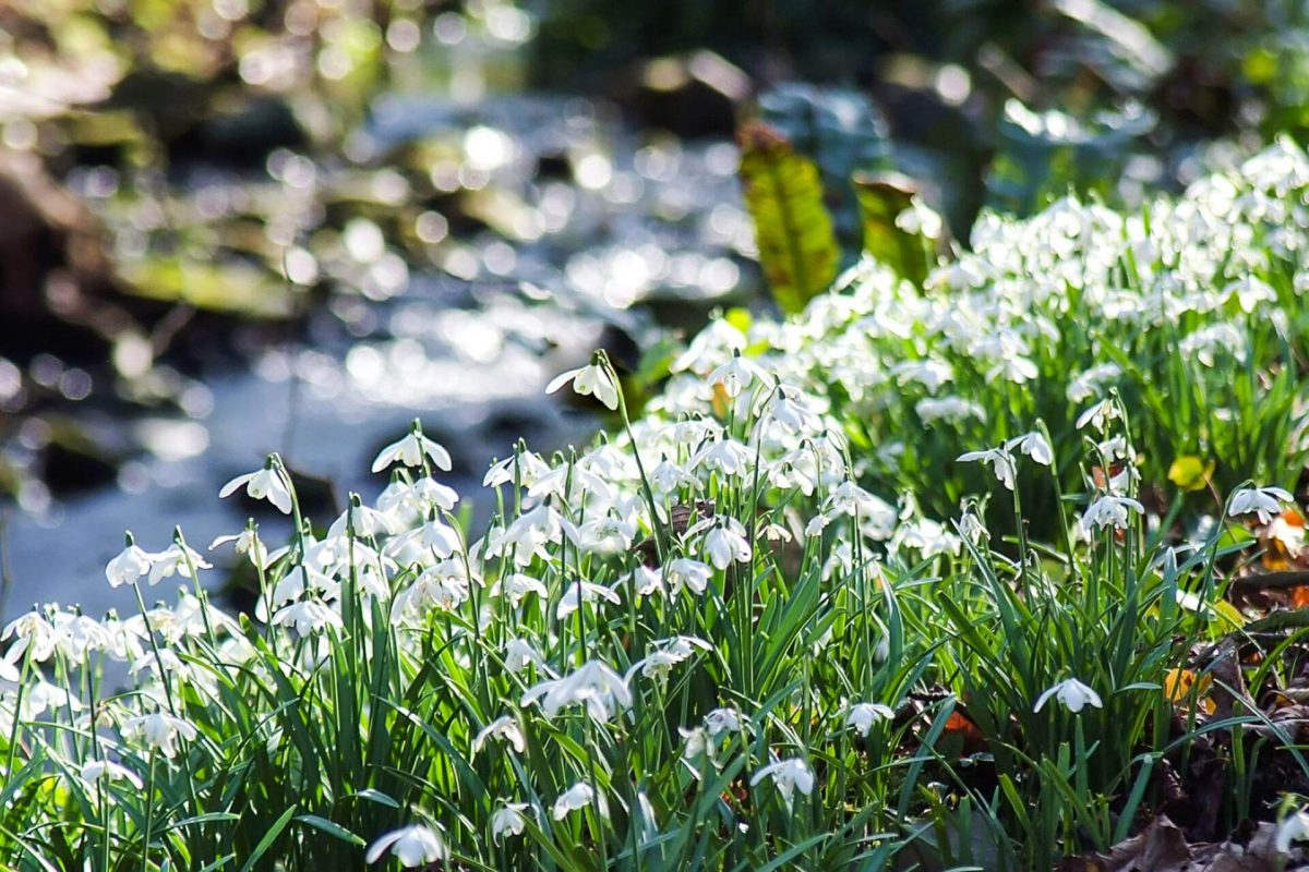 Snowdrops in the woodlands at Cambo Gardens near St Andrews