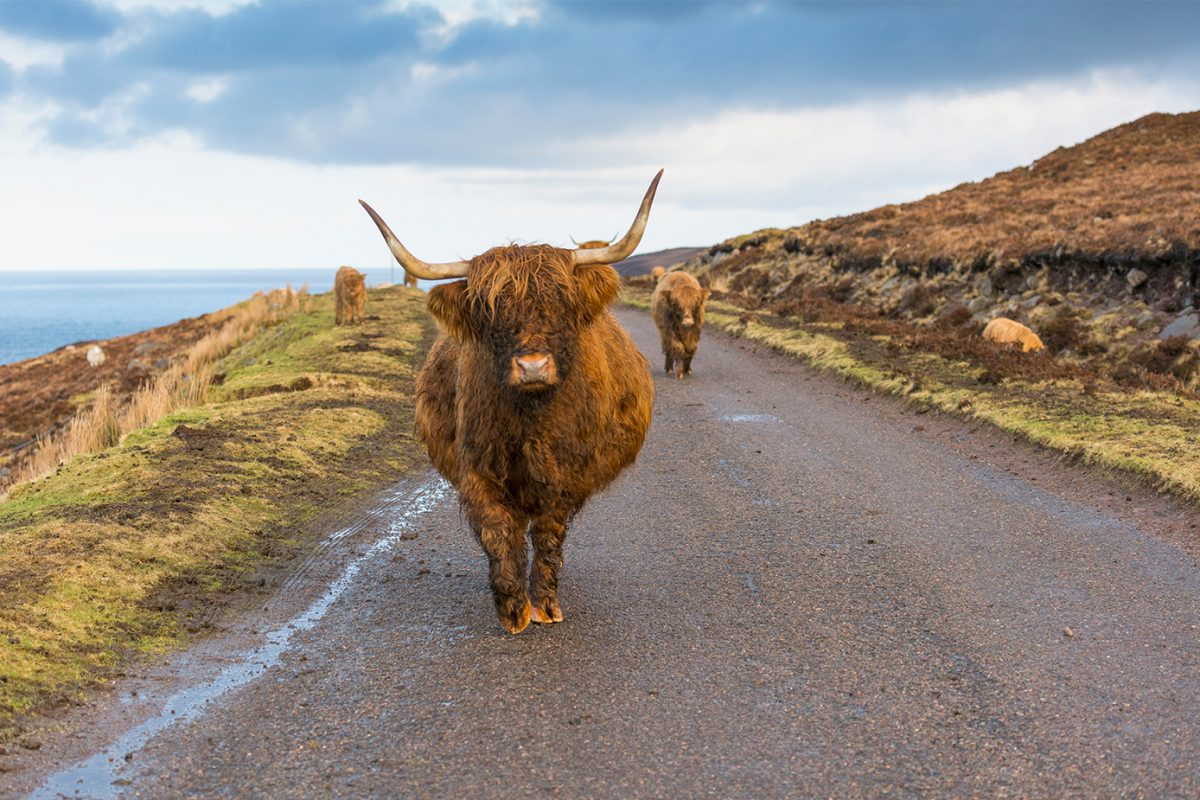 A friendly Heilan' Coo between Applecross and Shieldaig, Wester Ross