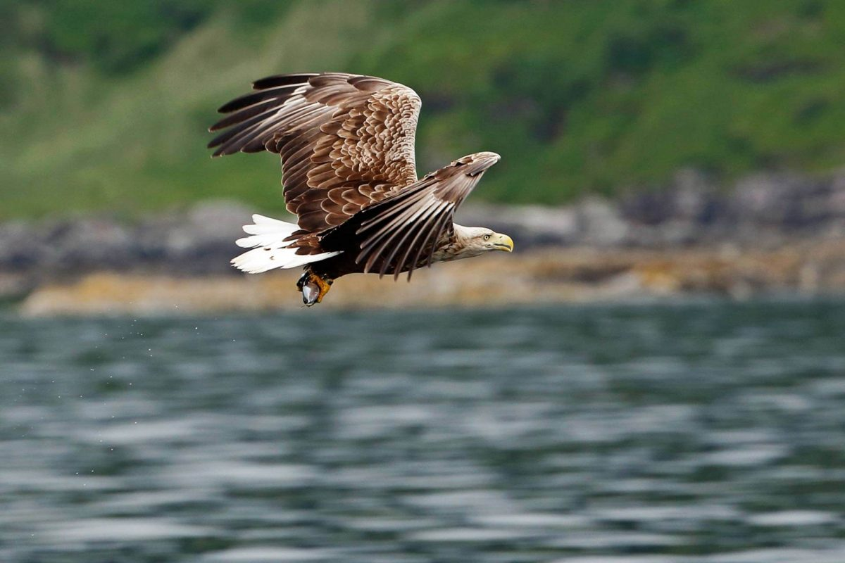 White-tailed sea eagles are often seen around Mull