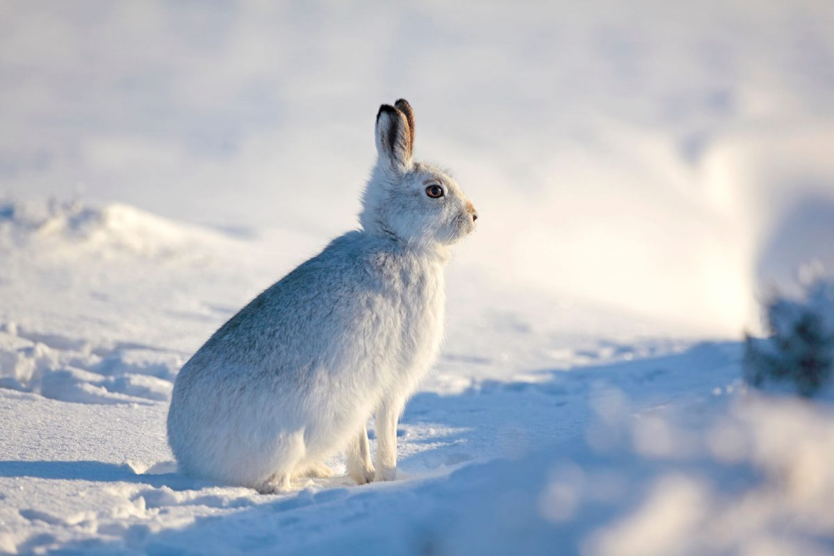 A mountain hare in its winter coat