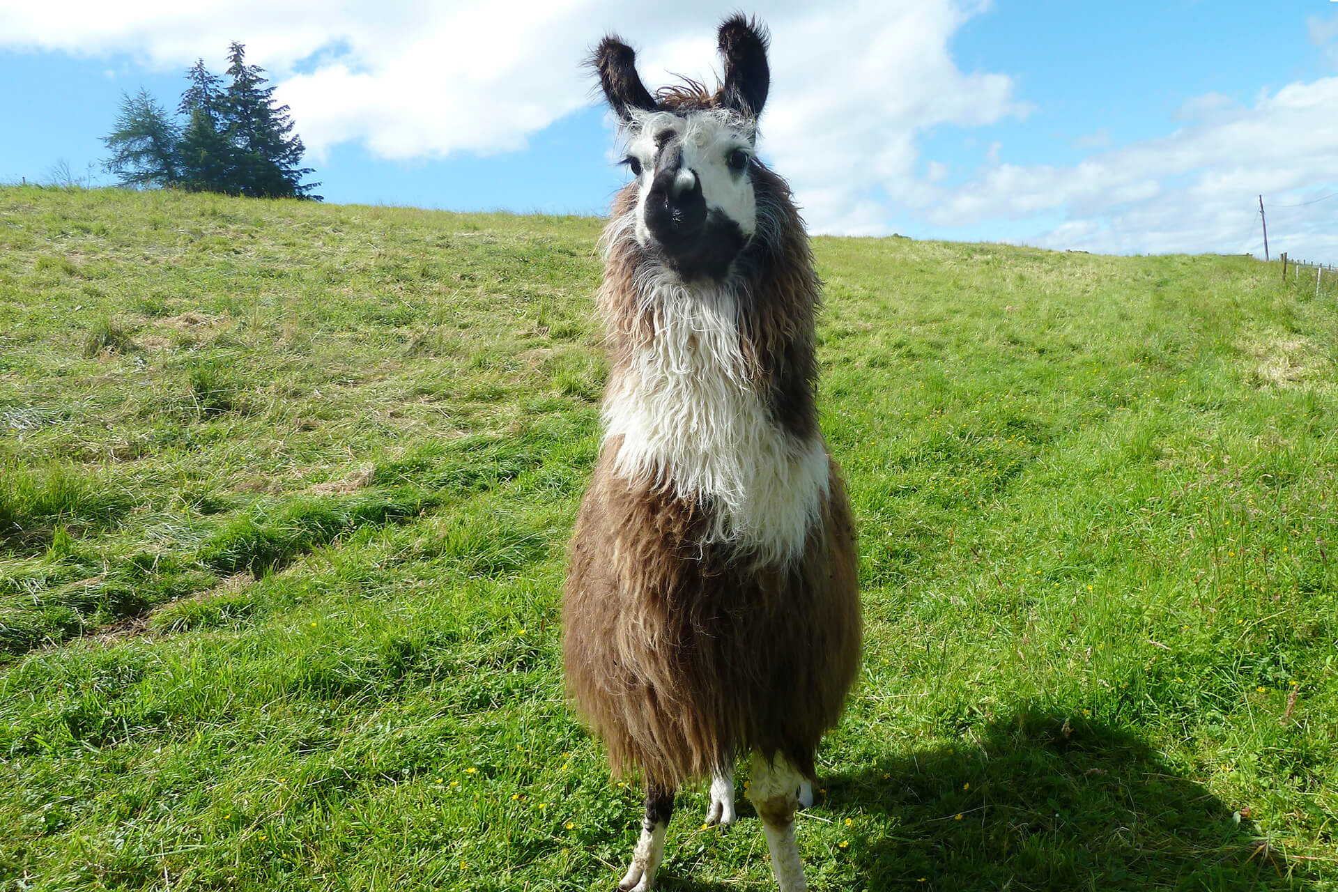 A llama standing in a grass field in Glenshee