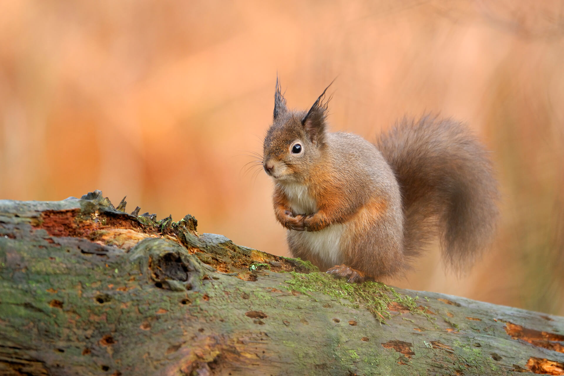 Red Squirrel ©Lorne Gill SNH