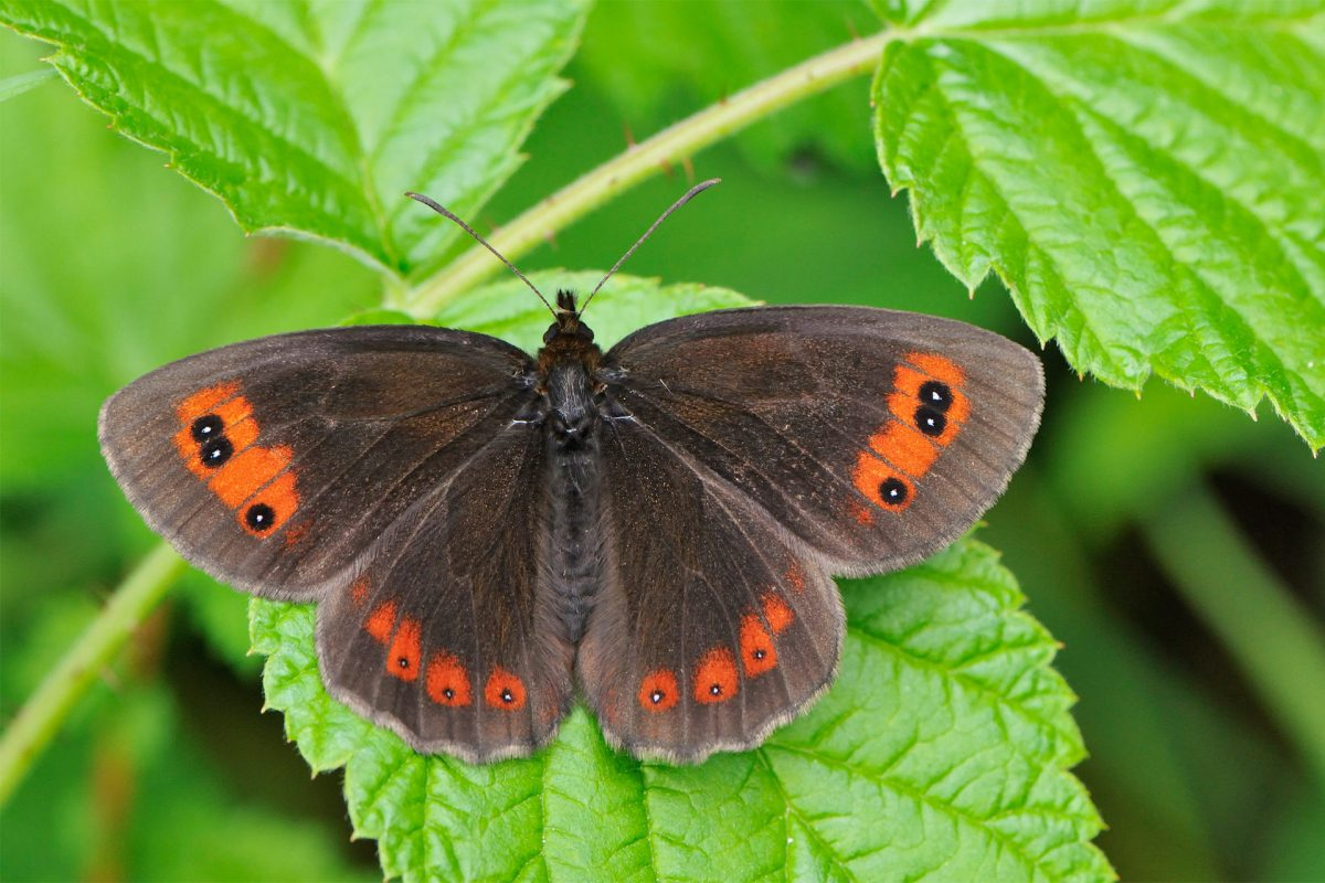 A beautiful Scotch argus, Cairngorms National Park