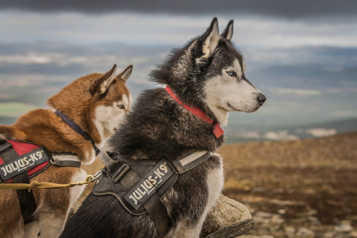 Huskys im Cairngorms National Park