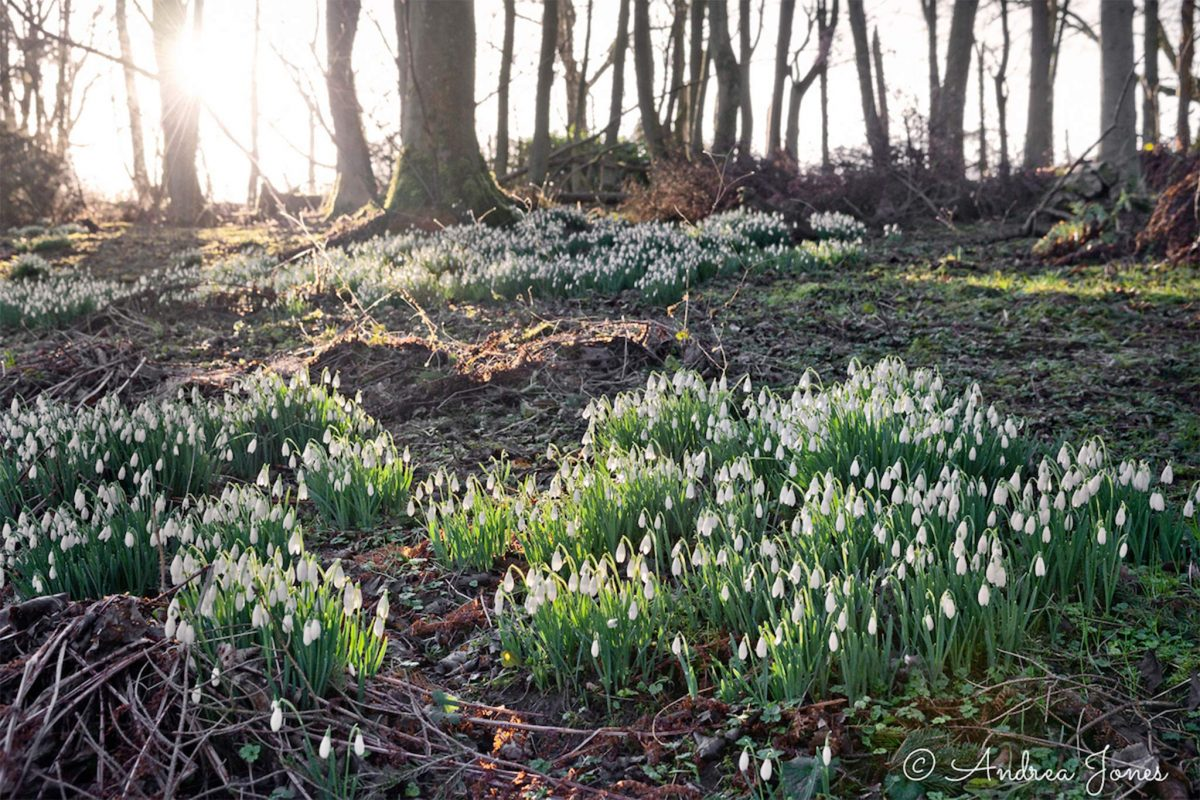 A wonderful woodland snowdrop display at Teasses Estate, Fife