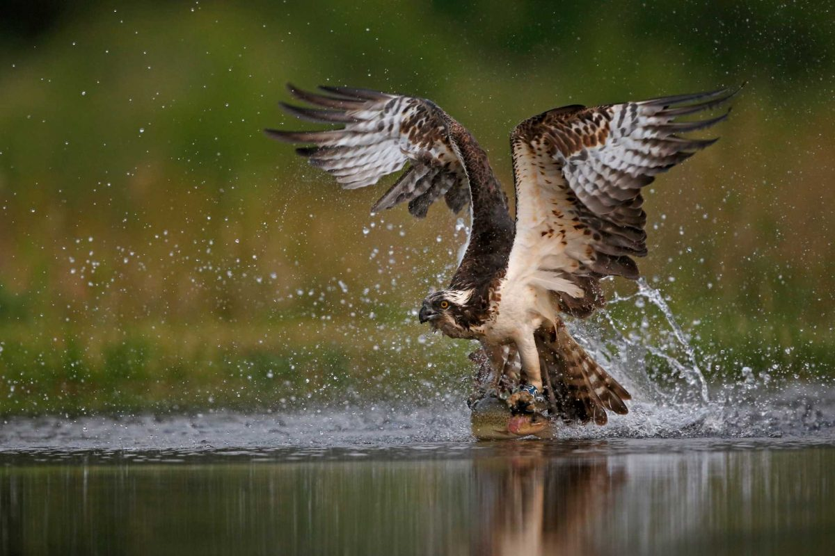 An osprey with a fish