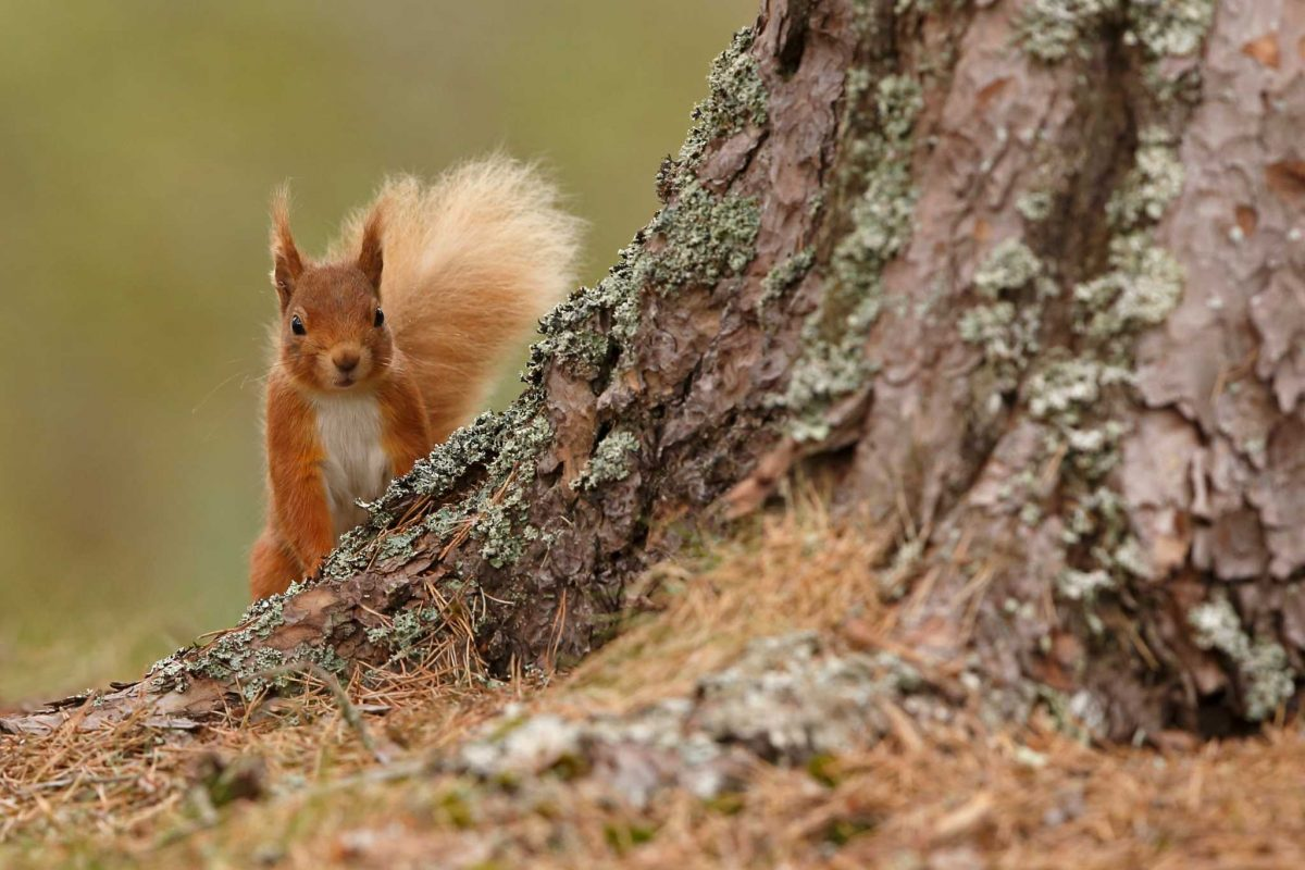 An inquisitive red squirrel