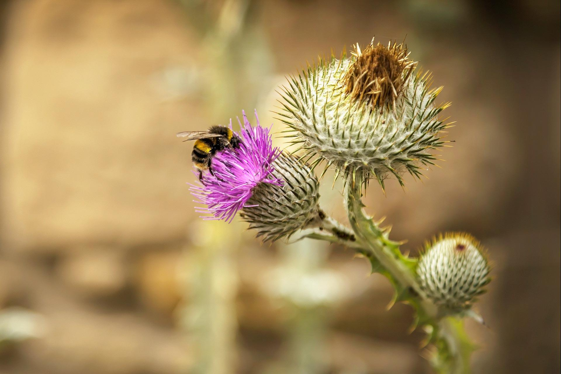 Image of: Scotsman Scotlands National Flower Visitscotland Thistle National Flower Of Scotland Visitscotland