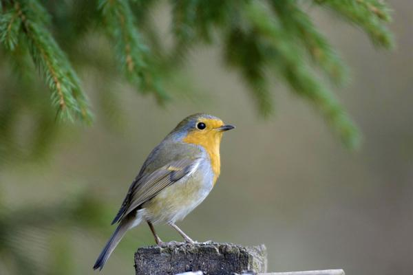 A European robin © RSPB images