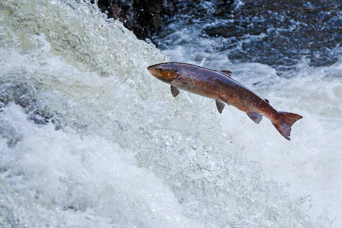 Atlantic salmon jumping out of a river