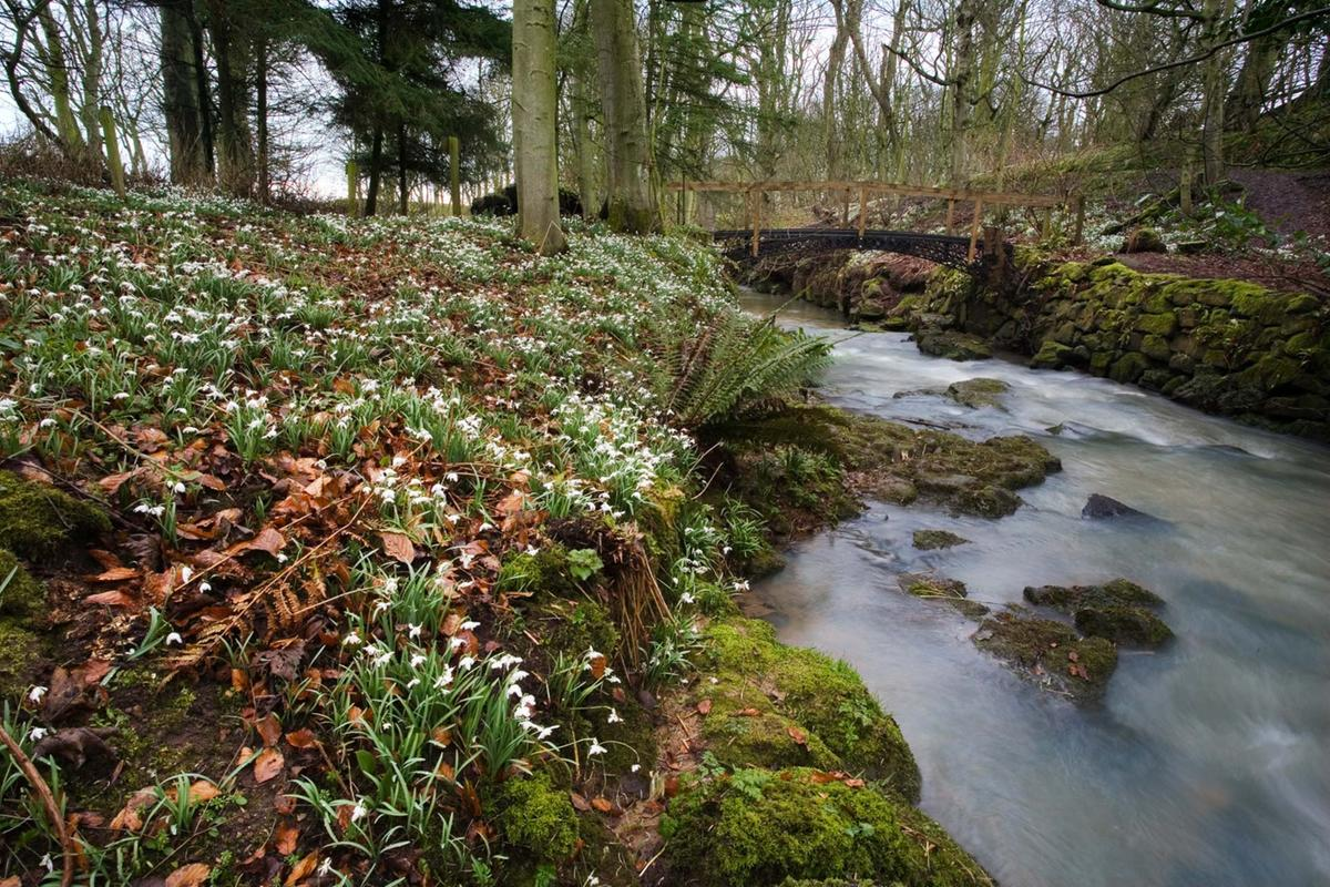 Snowdrops in the woodlands at Cambo Gardens, Kingsbarns, near St Andrews