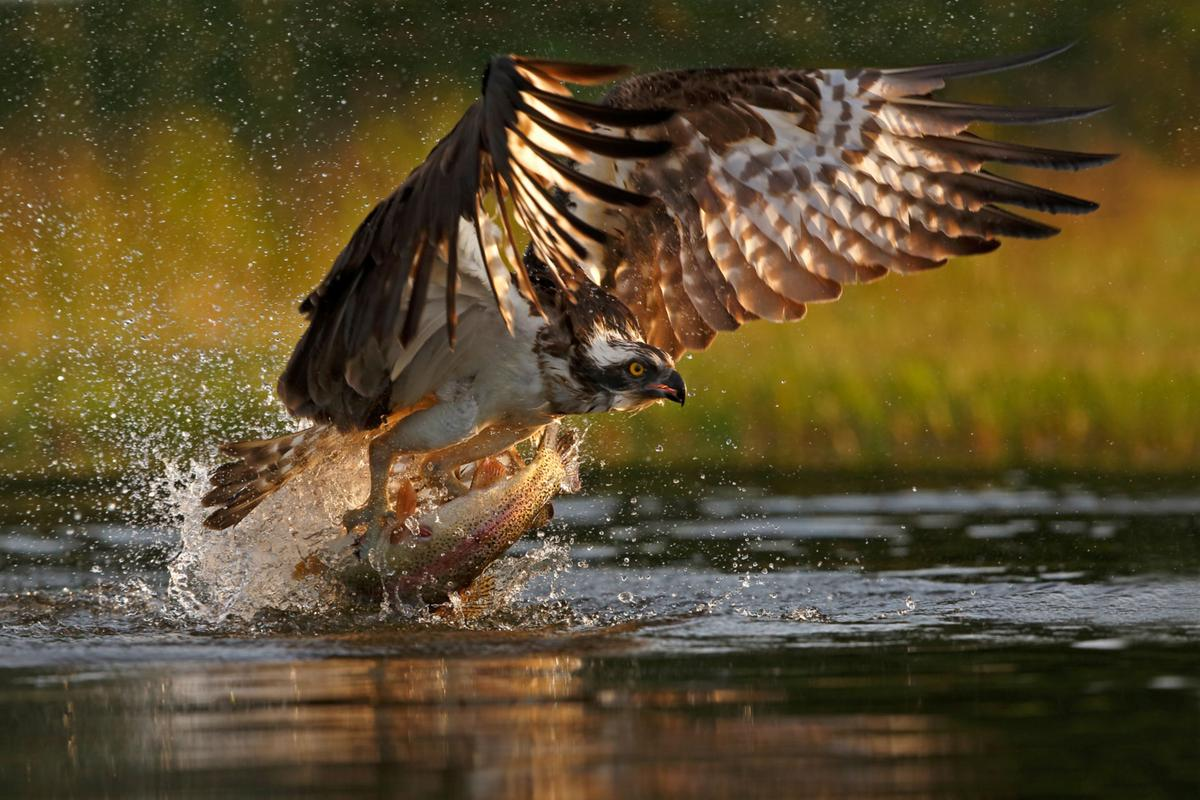 Osprey hunting over water