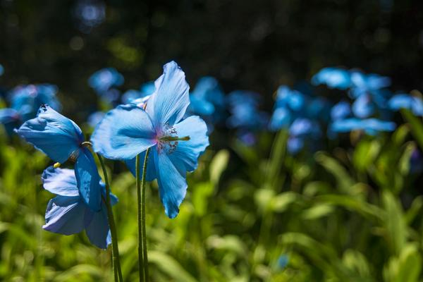 Beautiful blue poppies at Dawyck Botanic Garden