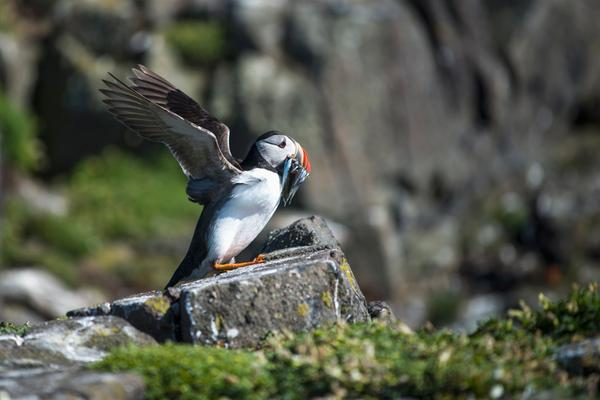 A puffin on a rock on the Isle of May