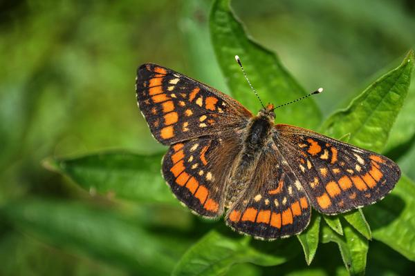 The Marsh Fritillary butterfly found on the Isle of Islay, Inner Hebrides