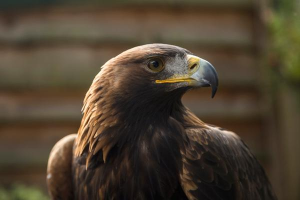 A golden eagle at the Bird of Prey Centre, Loch Lomond Shores