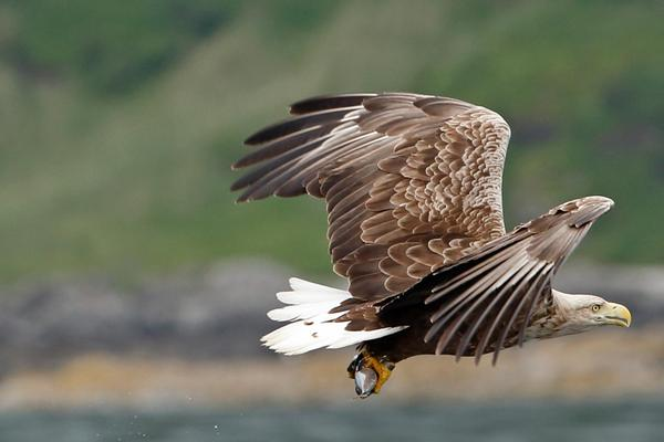 A white-tailed sea eagle on the Isle of Mull, Inner Hebrides