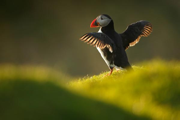 A puffin spreading its wings