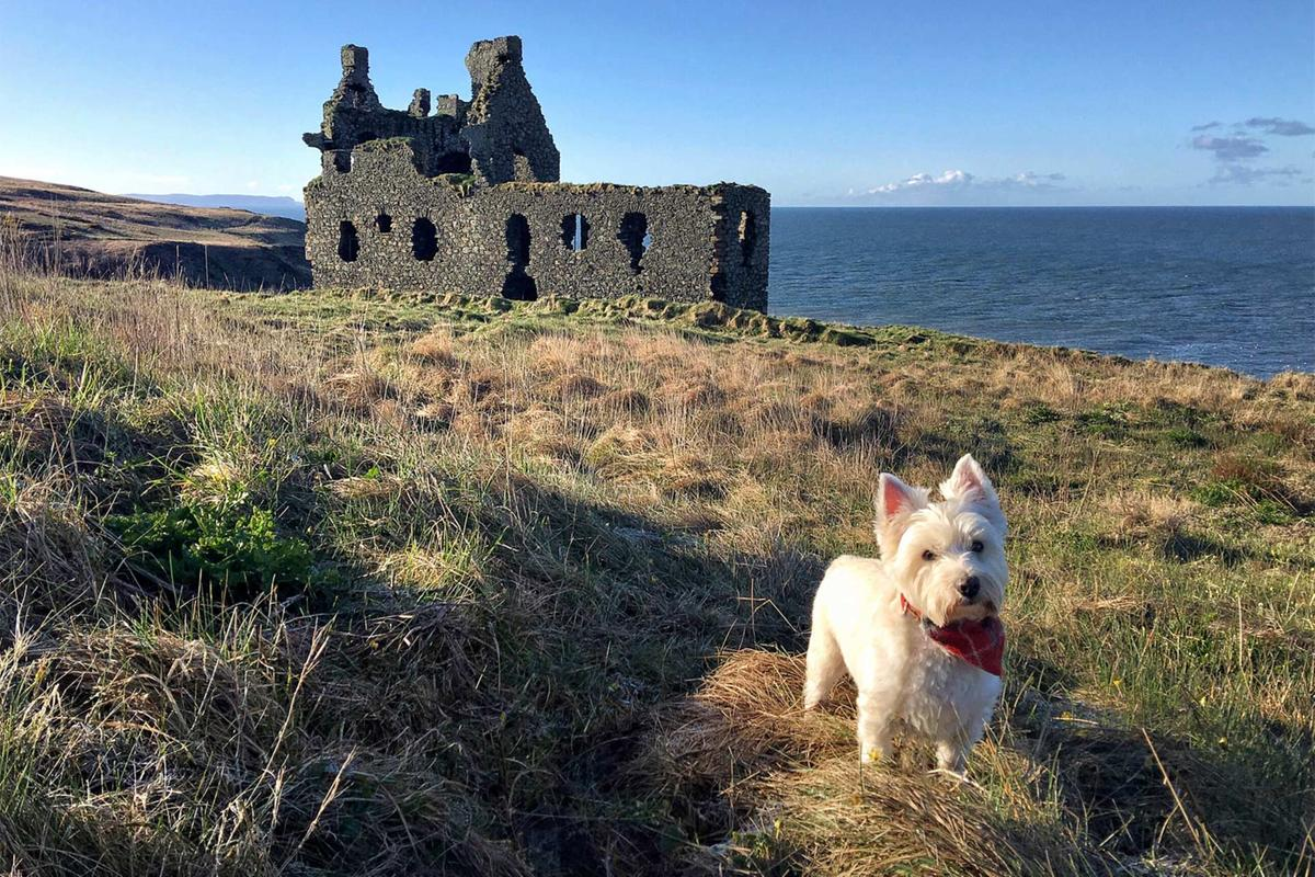 A white west Highland terrier stands infront of the ruins of a castle, with sea in the background.