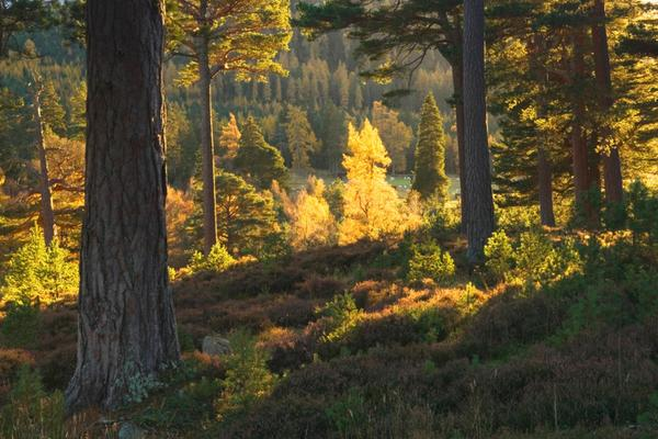 Mar Lodge Estate Woodland, near Braemar, Deeside, Aberdeenshire