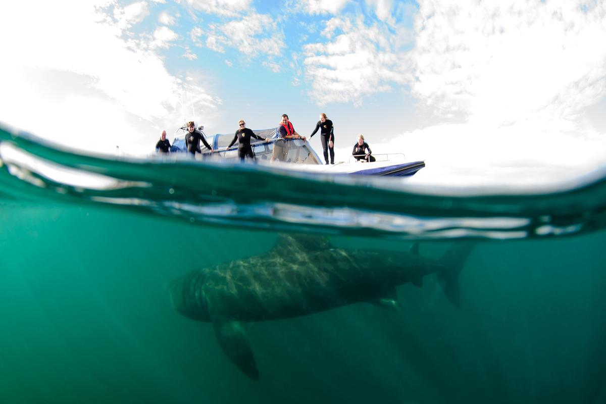 Basking shark @ Shane Wasik, Basking Shark Scotland