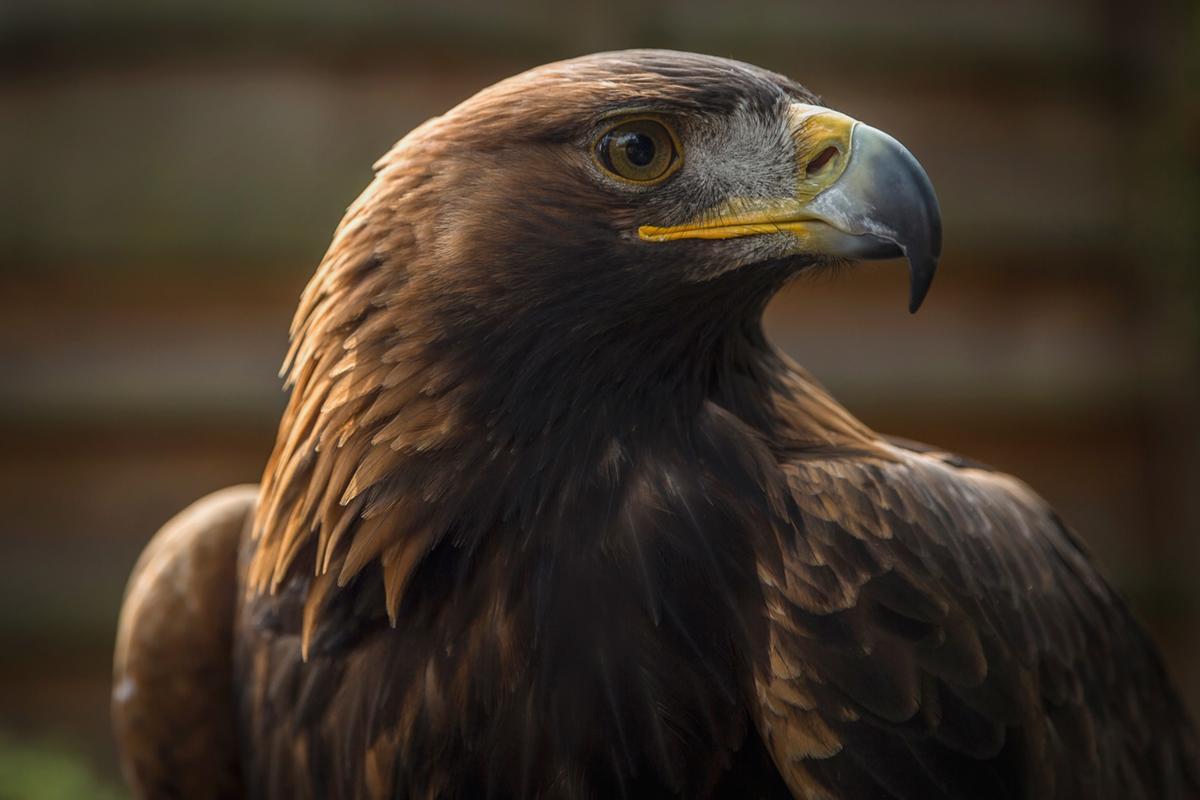 A golden eagle at the Bird of Prey Centre at Loch Lomond Shores, Balloch