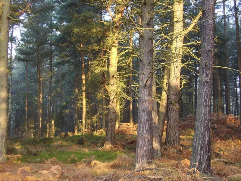 Scots Pines In Devilla Forest