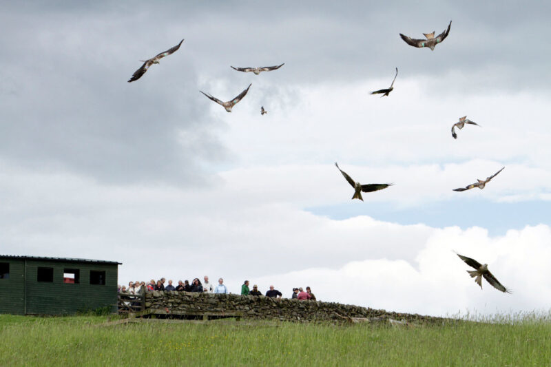 The Galloway Kite Trail Bellymack Hill Farm Red Kite Feeding Station Laurieston Near Castle Douglas Dumfries And Galloway
