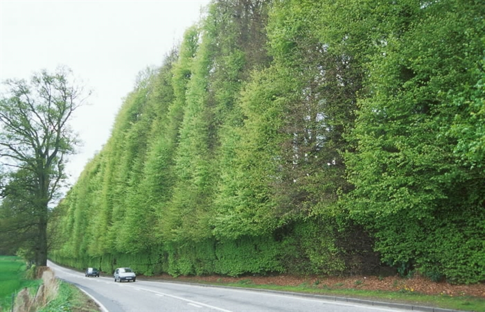 Meikleour Beech Hedge Copyright Forestry Commission
