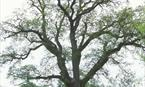 Eppie Callum's Oak copyright Forestry Commission
