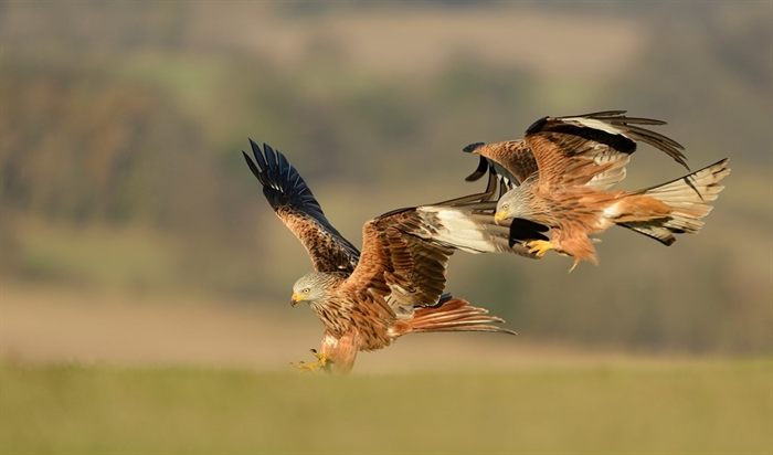 Rspb Scotland Tollie Red Kites Dingwall Nature Centres