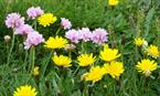 Wild flowers at Mull of Galloway ©Calum Murray