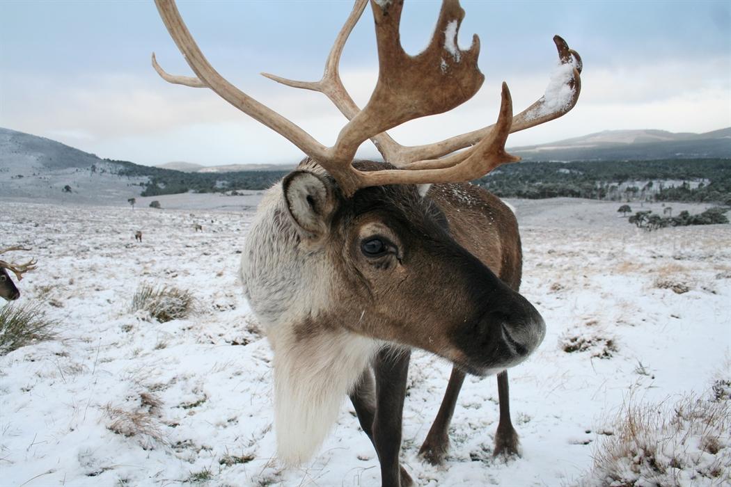 the cairngorm reindeer centre  aviemore  u2013 wildlife and animals