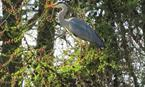 Heron at home on the Heritage Trail around Loch Leven. Accessed 2 minutes walk from property.